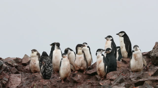 Young Chinstrap Penguins at Rookery on Half moon Island. Wet, cold and muddy.