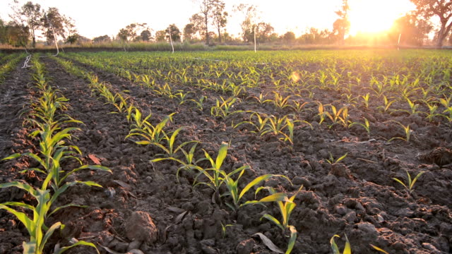 Young Corn Plants At Sunset