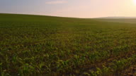 DS Young corn plants in the sunrise