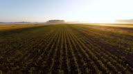 Luftaufnahme der jungen Mais Pflanzen im Sonnenaufgang