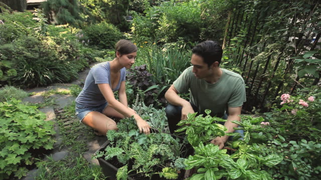 WS Young couple inspecting herbs in backyard garden / Jersey City, New Jersey, USA