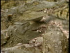 Young crocodile holding food in jaws crawls over others and plunges into water Zimbabwe