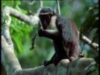 Young Diana monkey on branch nibbles at seed, then drops it, West Africa