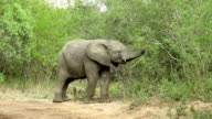 Young Elephant Eating Tree in Kruger Wildlife Reserve