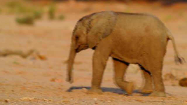 PAN MS Young elephant walking / Namibia