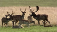 Young fallow deer (Dama dama) stags practice rutting, Richmond Park, London, UK