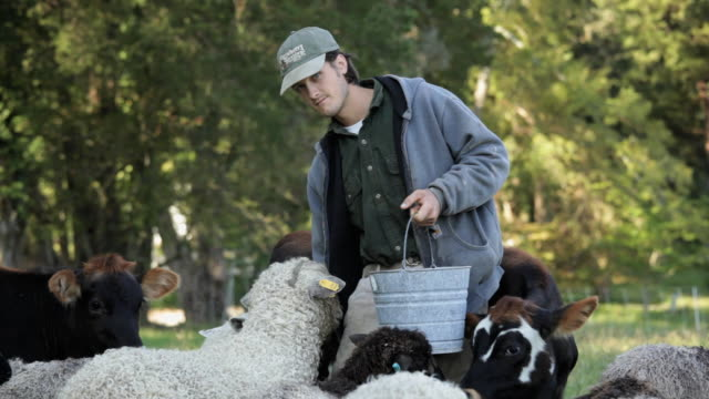Young Farmer Feeding Sheep and Cows in Pasture / Richmond. Virginia, USA