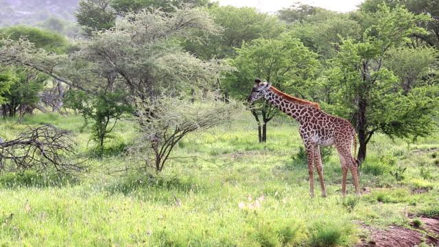 Young Giraffe Grazing