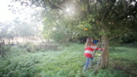 MS Young girl climbing on  tree at early morning light on  apple orchard / Beccles, Suffolk, United States