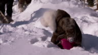 A young girl plays in deep snow. Available in HD.