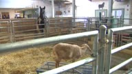 Young goat in a barn at Chicago High School for Agricultural Sciences on Nov 17 2014