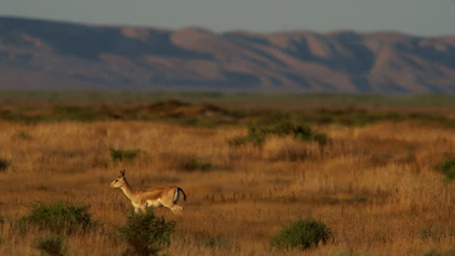 Young Goitered Gazelle