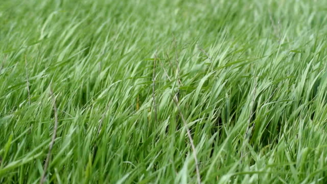 Young grass swaying on a strong wind