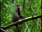 Young guenon monkey bites at fruit on branch, West Africa