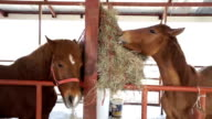 Young horses eating hay on the farm in Stable.
