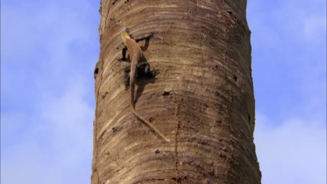Young Komodo Dragon Clambering on tree