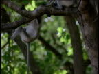 Young langur monkey hangs on the tail of second, Kanha National Park, India