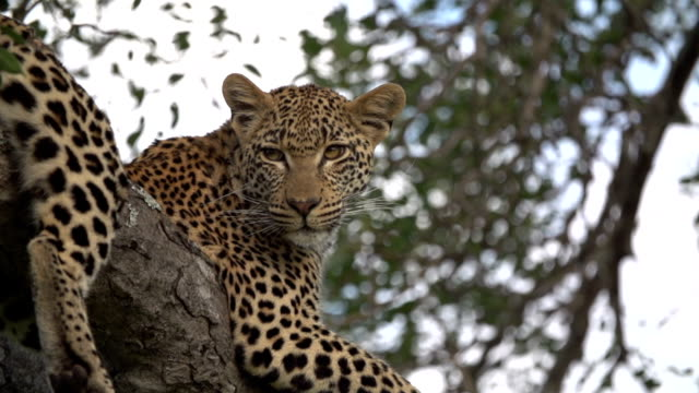 Young leopard resting in tree/ Kruger National Park/ South Africa