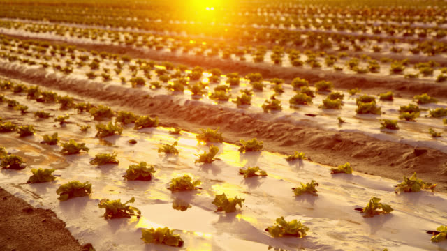 DS Young lettuce plants at sunrise