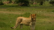 Young lioness and butterflies