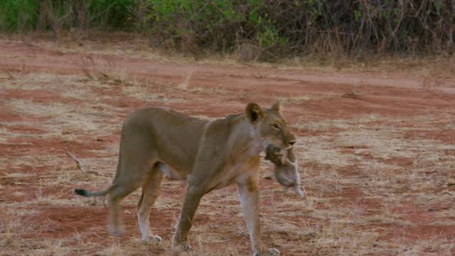 Young Lioness Moving Cub Samburu  Kenya  Africa