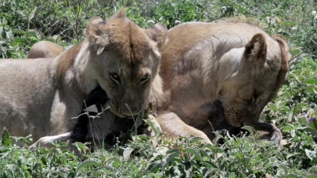 young lions dont want to share prey