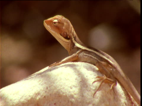 Young lizard looks around as it basks in outback, Northern Territory, Australia