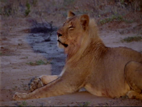 MCU Young male lion lying down, turns head looks to camera, early morning, Mana Pools, Zimbabwe