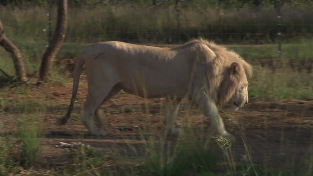 A young male lion paces toward another lion, then lies down. Available in HD.