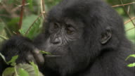 A young Mountain Gorilla feeds on leaves. Available in HD.