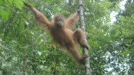 MS Young orang utan swinging through trees / Bukit Lawang, North Sumatra, Indonesia