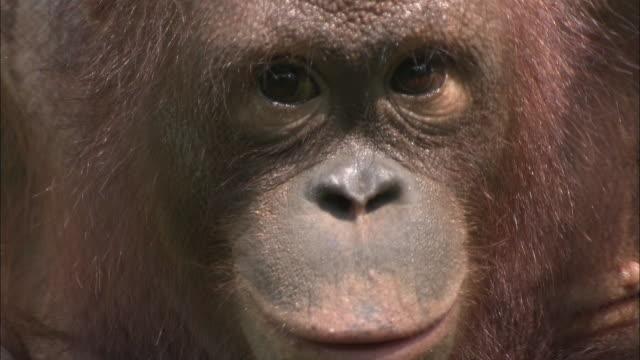 ECU, TU, Young orangutan (Pongo pygmaeus), Sepilok Rehabilitation Centre, Borneo, Malaysia