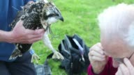 Young Osprey's being ringed and fitted with a satelite tracker from a nest on Bassenthwaite near Keswick in the Lake District National Park, Cumbria, UK.