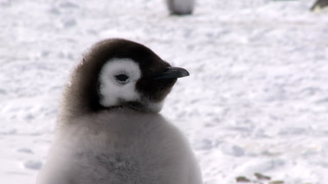 Young penguin closeup
