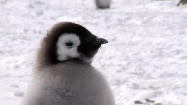 Junge penguin Nahaufnahme