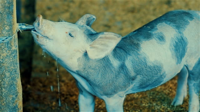 Young piglet drinking water