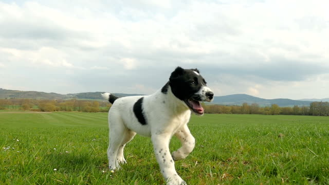 Young puppy running on field
