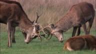Young red deer (Cervus elaphus) stags practice rutting, Richmond Park, London, UK