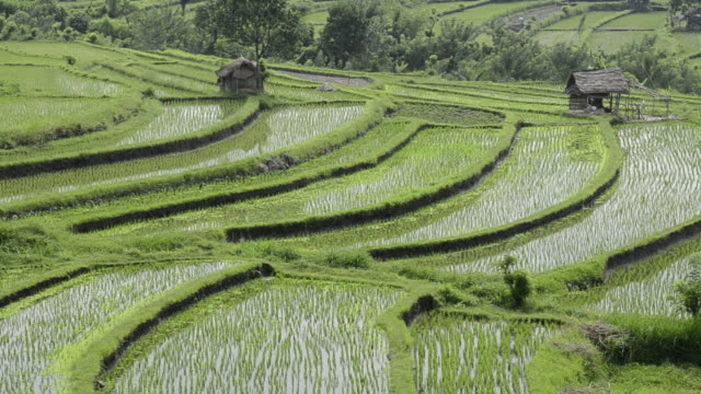 MS Young rice plants in paddy field / Tegallalang, Bali, Indonesia