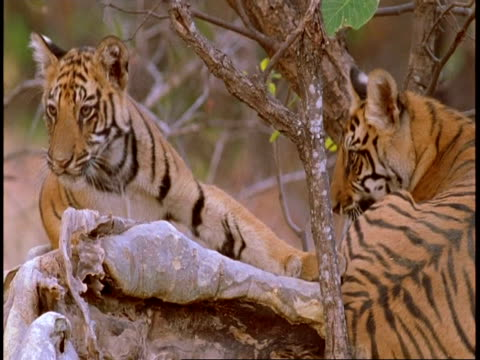 CU young Royal Bengal Tigers play fighting in tree, Bandhavgarh National Park, India