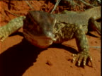 Young sand goanna peers into camera and flicks out tongue in desert, Northern Territory, Australia