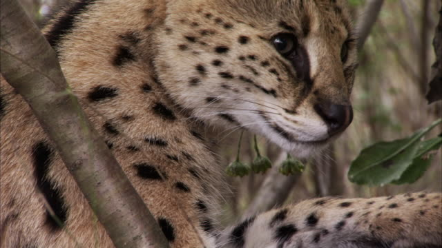 A young serval cat licks itself in a bush in South Africa. Available in HD