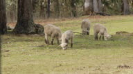 MS of young sheep grazing in field