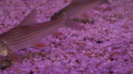 Young siamese giant carp