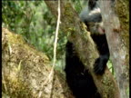 Young spectacled bear climbs in tree