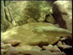 Young trout holding station against tide, turns to camera and swims off, River Teifi, Dyfed