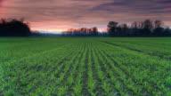 HD DOLLY: Junge Weizen unter Dramatischer Himmel