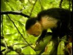 Young Whitefaced Capuchin, Cebus capucinus, in a tree getting a banana, CU, Panama, Central America