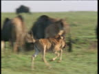 Young wildebeest runs and gambols on savanna