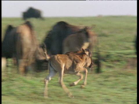 Young wildebeest runs and gambols on savanna